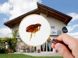 Resultado de imagen de pulgas casa