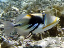 Samoan Fish Chart Organisms In Samoa Aquatic Marine Fishes Tetoraodontiformes