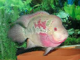 Small Picture Flowerhorn Cichlid Hua Luo Han Cichlid Fish Guide
