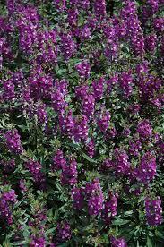 serenita purple angelonia angelonia