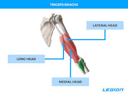 In both trained and untrained subjects the tricep is the largest by occupying ~55% of the arm, the bicep occupies ~30% and the brachialis the remaining ~15%. The 6 Best Triceps Workouts For Bigger Stronger Arms Gear Up To Fit