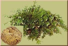 Resultado de imagen para imagenes de la planta de la resurrección