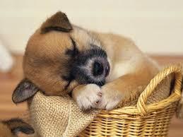 cute baby puppies sleeping. Plain Puppies Cute Puppies Sleeping Wallpapers With Cute Baby Puppies Sleeping P