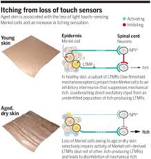 Light Touch Is Sensed By The A Cellular Mechanism For Age Induced Itch Science