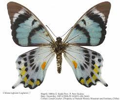 Альбом пользователя ЕкатеринаКостинская: Бабочка Альцидес агатовая. Коллекция 36 бабочек-малявок
