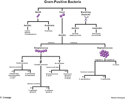 Differential Identification Chart Gram Positive Bacteria Overview Identification Algorithm