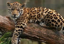 baby jaguar wallpaper. Unique Jaguar JAGUAR BABY  Predators Wildlife Jaguars Babies Cubs Tropical Cats For Baby Jaguar Wallpaper H