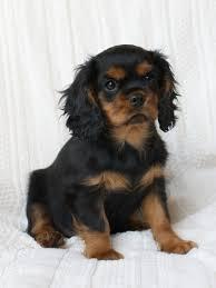 cavalier king charles spaniel black and tan puppy. Delighful Cavalier Cavalier King Charles Spaniel Black And Tan Puppy  Photo5 Intended King Charles Spaniel Black And Tan Puppy N