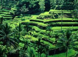 Foto Hamparan Sawah di Pulau Bali