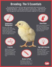 Chick Temperature Chart Recommended Brooding Temperatures For Commercial Poultry