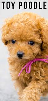 let s find out how toy poodles pare to their standard and miniature sized counterparts plus how to tell if they re the perfect pet match for you