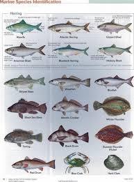 Saltwater Fish Chart Atlantic Saltwater Fish Chart