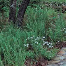 Polystichum acrostichoides - Christmas Fern | White Flower Farm
