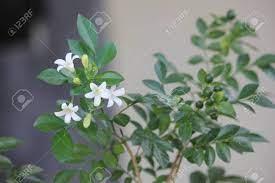 White Murraya Paniculata Flower Leaves ...