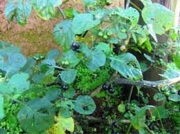 Solanum Nigrum - an overview | ScienceDirect Topics
