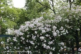 rosa paul s himalayan musk peggy rockefeller rose garden