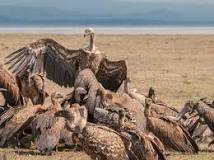 Image result for learn about vultures