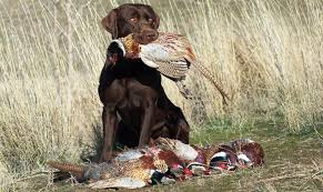 chocolate lab pheasant hunting. Plain Chocolate Frequently Asked Questions Inside Chocolate Lab Pheasant Hunting O