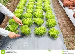 garden ground cover. Vegetable Garden ,with Plastic Ground Cover R