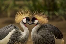 鳥の求愛の動物壁紙