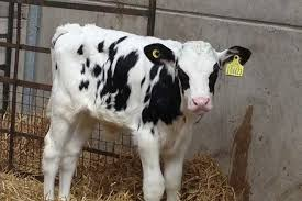 Image result for baby calf pictures
