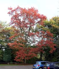 Quercus Rubra Wikipedia