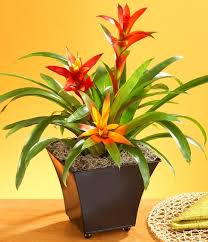 2 bromeliads bromeliads_mini best office plant no sunlight