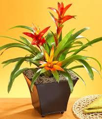 2 bromeliads bromeliads_mini best office plants no sunlight