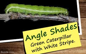 Facts And Pictures To Help You With Green Caterpillar