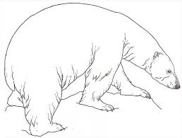 Small Picture Good Looking Coloring Pages Draw A Polar Bear 18 mosatt