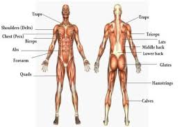 The Massive Muscle Anatomy And Body Building Guide You