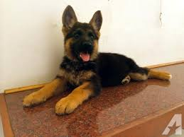 black and brown german shepherd puppies. Exellent German German Shepherd Silver Black Pets And Animals For Sale In The USA  Puppy  Kitten Classifieds Page 28 Buy Sell Kittens Puppies AmericanListed On Black And Brown German Shepherd Puppies C