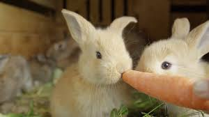 fluffy baby bunnies. Brilliant Fluffy CLOSE UP Beautiful Fluffy Light Brown Baby Bunny Eating Big Fresh Juicy  Carrot Stock Video Footage  Videoblocks With Fluffy Baby Bunnies B