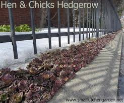 Kitchen Garden Hens Hen And Chicks You Can Grow That Your Small Kitchen Garden