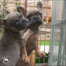 darksable2 8 darksable2 9 both 1 both 3 french pups available french bulldog puppies