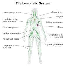 digestive system help the muscular system ideas about human organs of lymphatic system and their functions