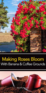 are coffee grounds good for roses bananas too