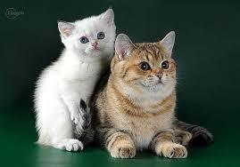 Британская короткошерстная кошка стандарт gccf британская кошка  Британская короткошерстная кошка Стандарт gccf