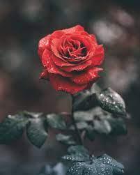 Rose Wallpapers: Free HD Download [500+ ...