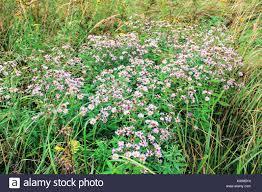 tall green grass field. Field Chamomiles Growing Among The Tall Green Grass