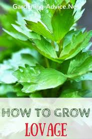 an easy to grow culinary herb for your kitchen garden