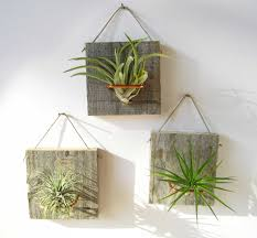 Air Plant Display Ionatha Small Form Airplant And Barn Wood Air Plants Plants And