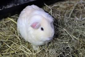 guinea pig bedding types odor control