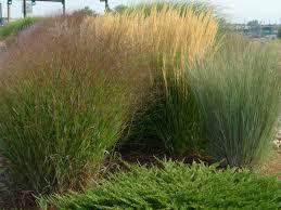 Tall Decorative Grass Ornamental Grasses Blossoms Blueprints