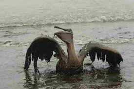 gulf disaster is now worst u s offshore oil spill npr a brown pelican sits on the beach at east grand terre island along the louisiana coast