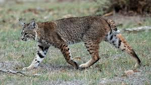 lynx size assessing demography and genetic variation in bobcat lynx rufus