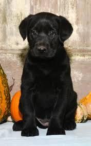 newborn baby pugs for sale. Contemporary Sale Puppies For Sale And Newborn Baby Pugs For