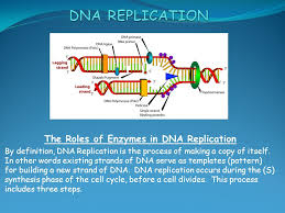 Dna Replication Definition The Roles Of Enzymes In Dna Replication By Definition Dna