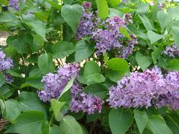 Lilacs In Landscape Design Common Purple Lilac Syringa Vulgaris Landscaping In Mn