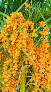 Close Up Of Orange Dates Fruit Of Palm Tree Stock Photo Royalty Palm Tree Orange Fruit